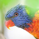 Rainbow Lorikeet by David Jenkins by David Jenkins