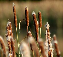 Cat Tails - Typha by Mechelep