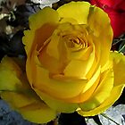 Yellow Rose by Lunaria