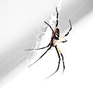 Garden Spider by trwphotography