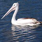 Paradise Pelican by Graham Mewburn