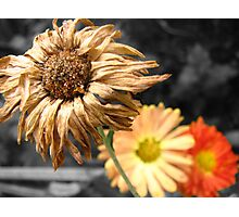 Life and death of a flower Photographic Print