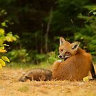 Red Fox look back - Algonquin Park by Jim Cumming