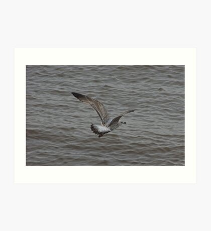 Herring Gull....Second Winter Art Print