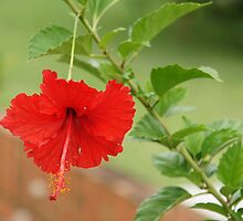Red hibiscus by JudeStarr