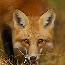 Red Fox close-up, Algonquin Park by Jim Cumming