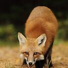 Playfull Red Fox, Algonquin Park by Jim Cumming