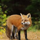 Red Fox, Algonquin Park by Jim Cumming