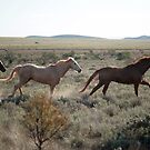 Run like the wind - horses in south Australia by Jenny Dean