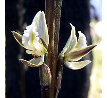 wild flower, 'bronze leek orchid' Photographic Print