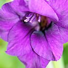 pretty purple gladioli flower by liza scott
