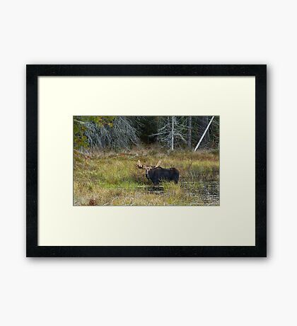 Bull Moose, Algonquin Park Framed Print