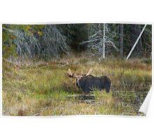Bull Moose, Algonquin Park Poster