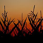 corn stalks by AngieBanta