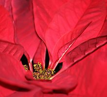 Poinsettia close up by ANNABEL   S. ALENTON