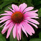Purple Cone Flower by Mechelep