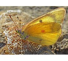 Yellow Sulphur Photographic Print