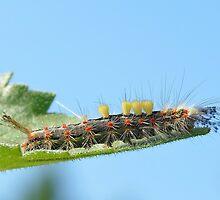 Orgyia Antigua caterpillar by relayer51