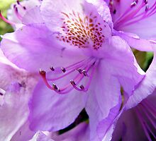 Purple Rhododendron by sstarlightss