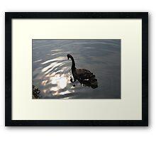 Black Swan 1 Framed Print