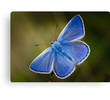 Common Blue Butterfly - Polyommatus icarus Canvas Print