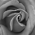 Mono Rose by lisardoherty
