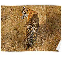Royal Bengal Tiger Poster
