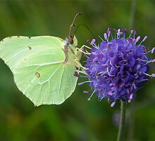 YWT Staveley, UK - Brimstone Butterfly by Robert G Robson