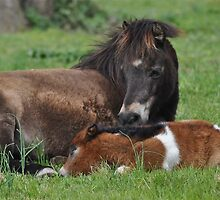 Shetland Pony Mare and Foal at Rest by fenwickstud