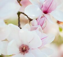 Spring magnolia by makuc