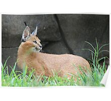 Caracal Concentration Poster