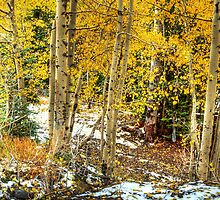 Golden Aspens In The Snow by Diana Graves Photography