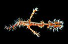Ornate Ghost Pipefish by MattTworkowski