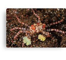 Boxer Crab Canvas Print