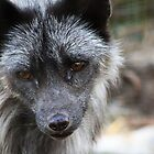 Silver Fox by Alyce Taylor