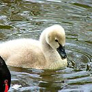 Mum...Mum.. Please Read The Ugly Duckling Story Again.. - Cygnet - Maple Glen NZ by AndreaEL