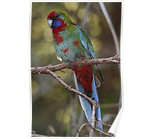 Juvenile Eastern Crimson Rosella - A Face Only a Mother Could Love Poster