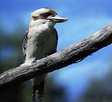 Kookaburra sitting in an old gum tree . . .  by yolanda