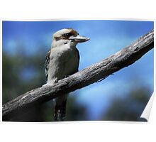 Kookaburra sitting in an old gum tree . . .  Poster