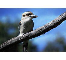 Kookaburra sitting in an old gum tree . . .  Photographic Print