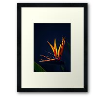 Golden Glow - Bird of Paradise Framed Print