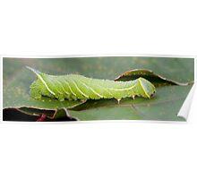 Poplar Hawk-moth Caterpillar (Laothoe populi) Poster