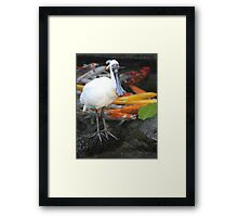 Spoonbill and Koi Framed Print