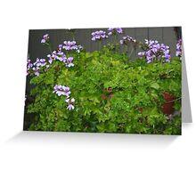 hanging geranium………… Greeting Card