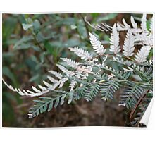 Silver Fern Poster