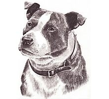 Staffordshire Bull Terrier in Pencil Photographic Print