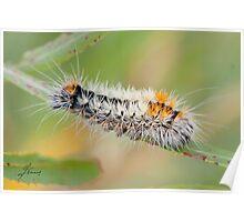 Impressed Dagger Moth  (Acronicta impressa) Poster