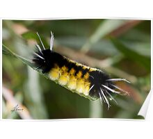 Tussock moth caterpillar (Lophocampa maculate) Poster