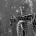 Giraffes in Dublin Zoo by Dave  Kennedy