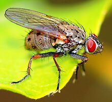 Macro Shot of Fly by ramaniqbal